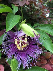 Passion Flower cutting taken from Mom & Dad's house in 2003 has moved around my yard to current spot by garage in 2017
