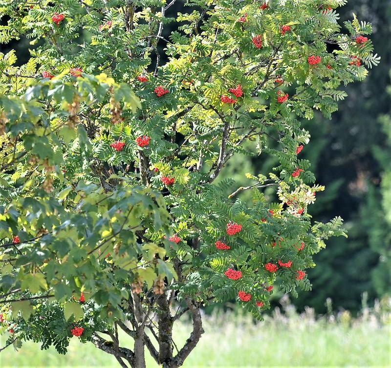 Rowan Tree 03.09 (1)