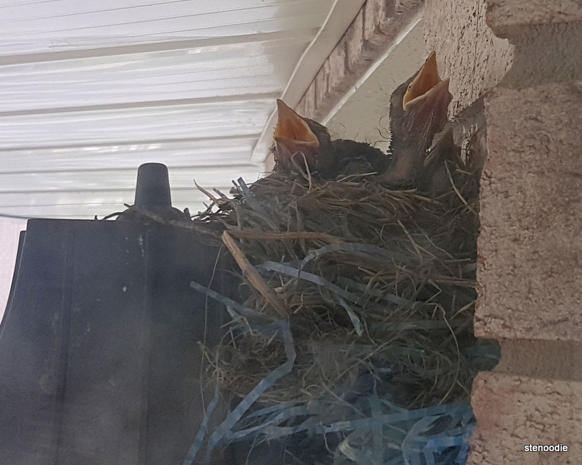 Baby robins screaming from nest