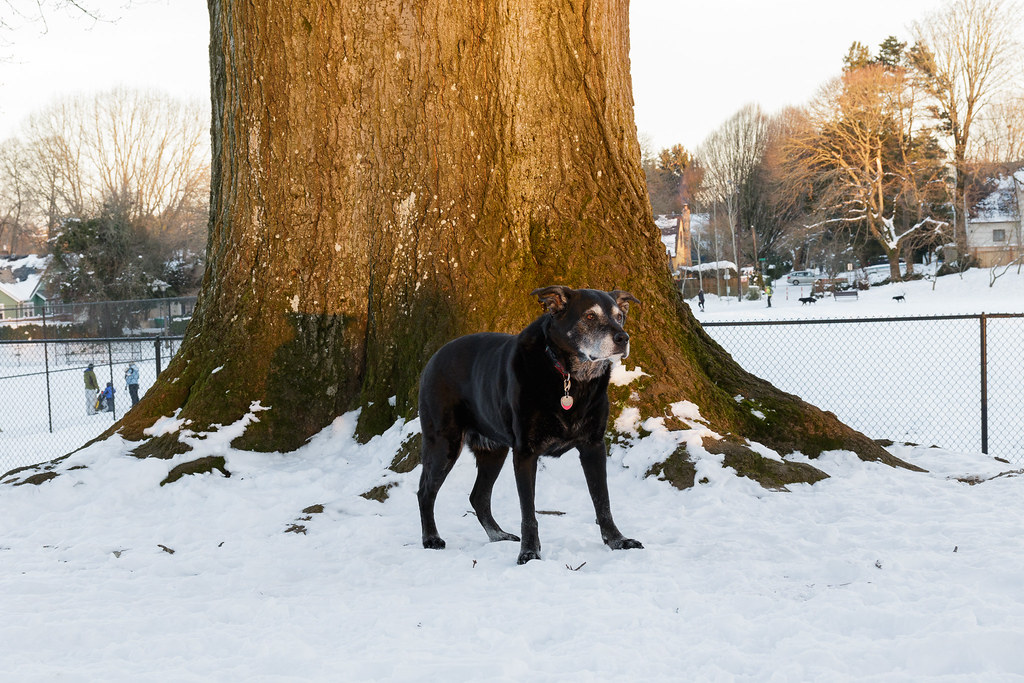 Our dog Ellie stands beside a massive old tree near the dog park in Irving Park