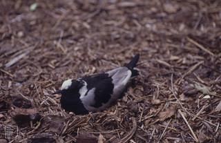 Blacksmith plover in nest. Sun City 1994