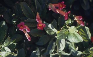 Ernestimeyera magna. Rubiaceae. Pretoria. 1990 =Alberta magna. 1979 Flower of wild