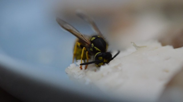 Wasp eating chicken