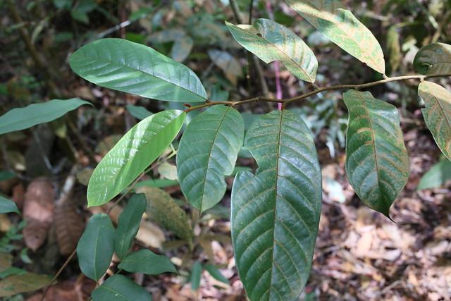 Drepananthus ramuliflorus NS07, Canon EOS 6D, Sigma 50mm f/2.8 EX