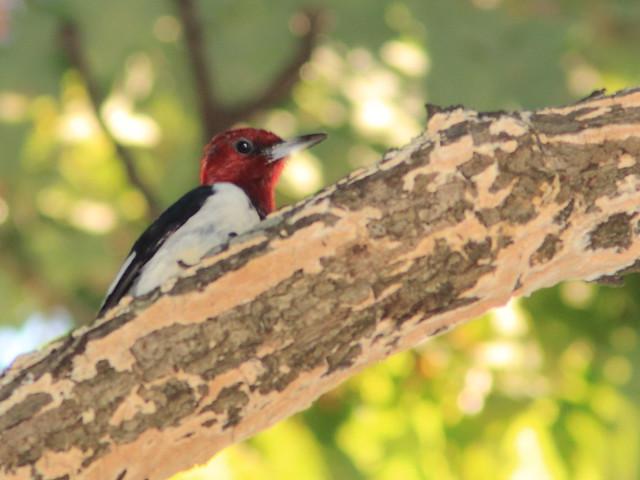 Red-headed Woodpecker 03-20170925