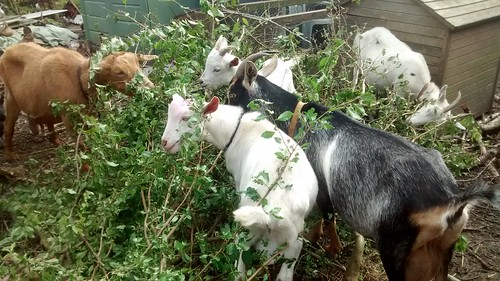 apple branches for goats Aug 17 (1)