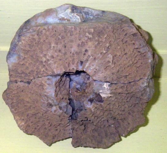 Aulocopium aurantium 36050538013_71416b5681_o