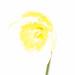 High-Key Daffodil