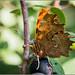 Comma Butterfly feeding