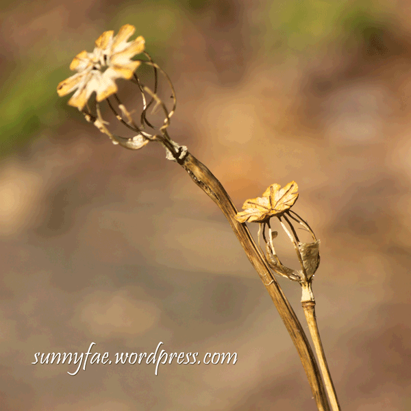 skeleton poppy seed head photo