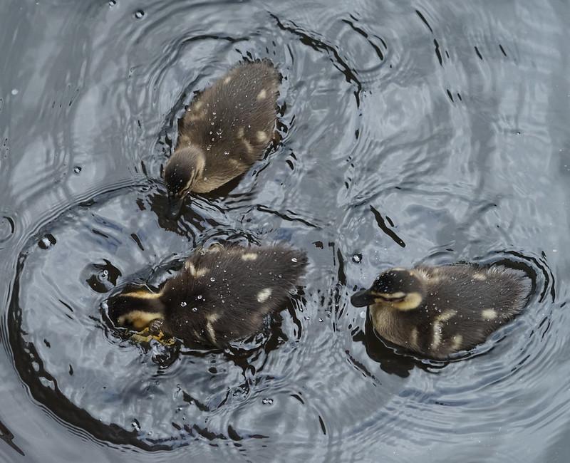 Ducks and Ducklings, Fort Augustus