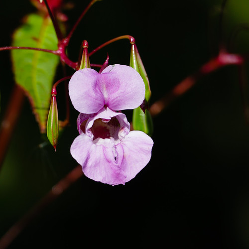 Pink: Himalayan balsam flower