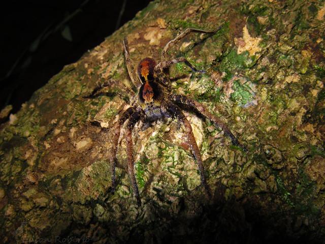 Ctenus sp. (Ctenidae)