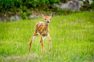 Bambi on the Run - Near Mabry Mill