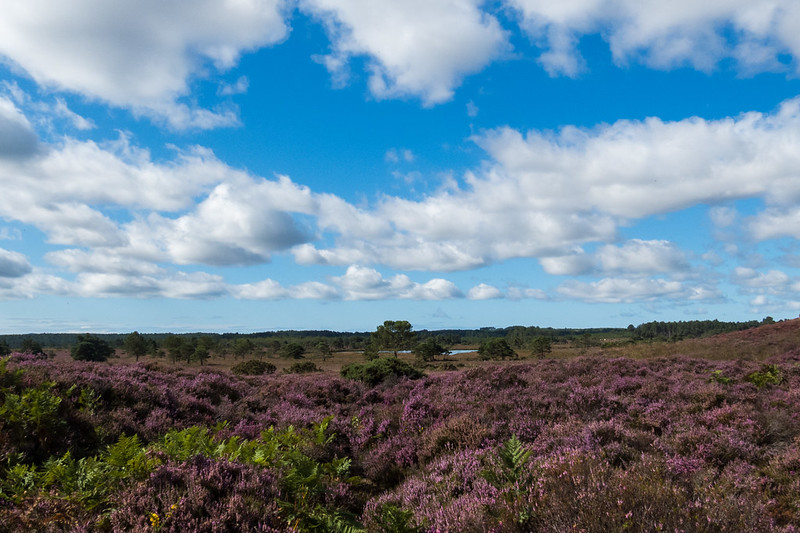 Heather in full bloom at Morden Bog