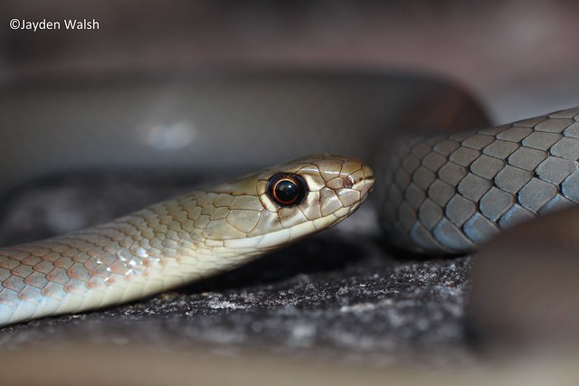 Yellow-Faced Whipsnake, Canon EOS 700D, Tamron 90mm f/2.8