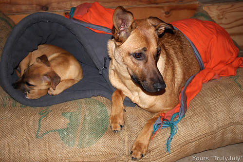 Comfort blanket for our puppies: the orange kanga.
