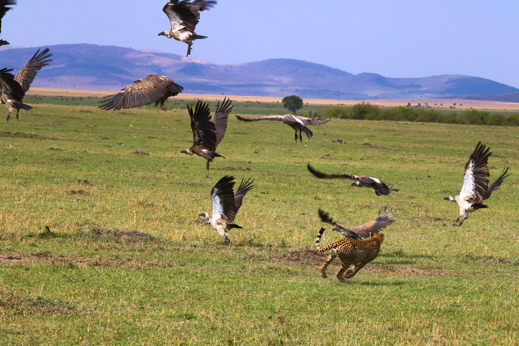 Cheetah chases off vultures