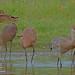 Sandhill Cranes_IMG_7314 by bud_marschner