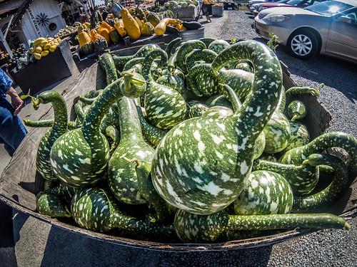 Schuh Farms and Pumpkins-011