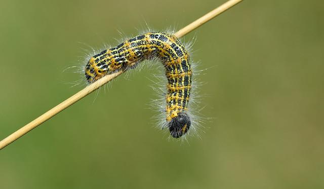 Buff Tip larva Phalera, Nikon D810, Sigma Macro 105mm F2.8 EX DG OS HSM