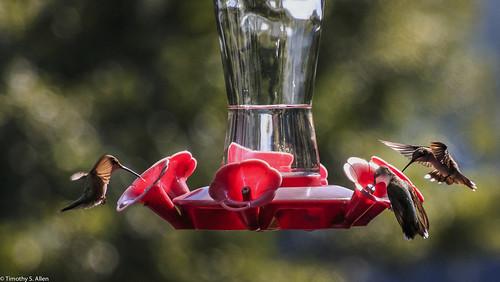 georgia newnan animals feeder hummingbirds bird nature feeding hover