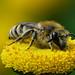 Gemeine Seidenbiene (Colletes daviesanus) auf Rainfarn (Tanacetum vulgare)