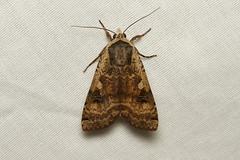 Noctua pronuba (Large Yellow Underwing Moth) - Hodges # 11003.1