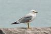 Ring-billed Gull (Larus delawarensis), adult breeding DSC_2393