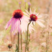 Coneflowers, Jay Cooke State Park