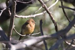 Tufted Flycatcher | Reef Townsite CG | Carr Canyon | Sierra Vista | AZ|2017-08-31|09-36-01.jpg