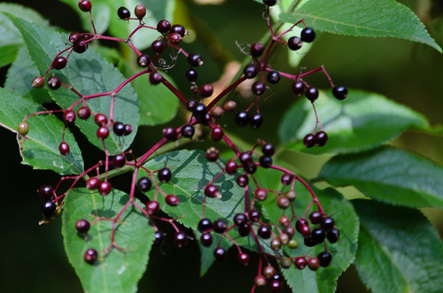 Elderberries, ripening