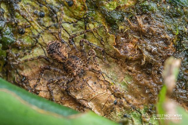 Huntsman spider (Heteropoda sp.) - DSC_8205