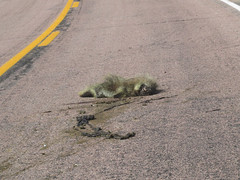 Dead North American porcupine (Erethizon dorsatum) on road