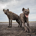 Hyenas by Will Burrard-Lucas | Wildlife