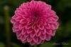 Pretty in pink - Dahlia - RHS Wisley Gardens by Lauren Taliana