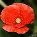 Common Red Poppy Raindrops