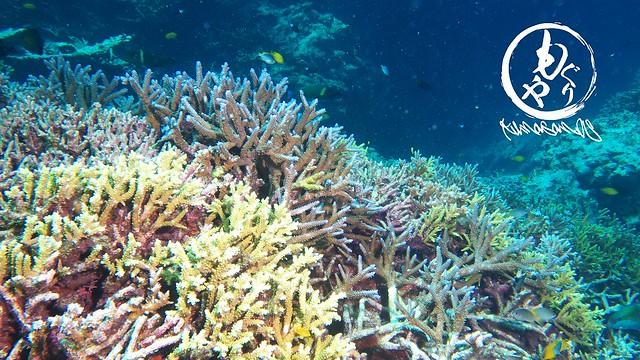 サンゴキレイゾーンはこないだより成長してる感アリ♪