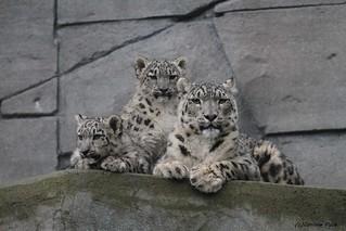 Panthère des neiges_Maman et bébés