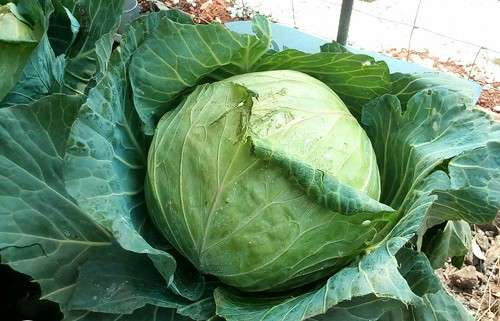 Biggest Cabbage
