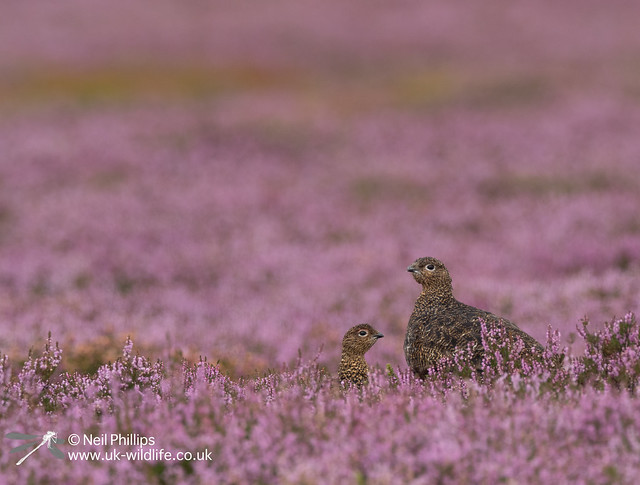 Red grouse-5