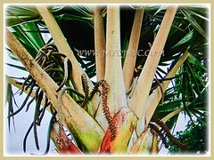 Lovely petioles of Latania loddigesii (Blue Latan Palm, Latan Palm, Blue Latania Palm), 11 Aug 2017