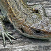 Juvenile Common Lizard