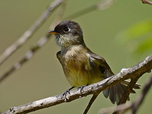 Mosquerito cabecinegro // Black-capped Flycatcher