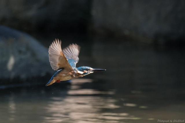20170903-Kingfisher-DSC_1719