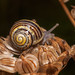 Snail on hogweed seeds