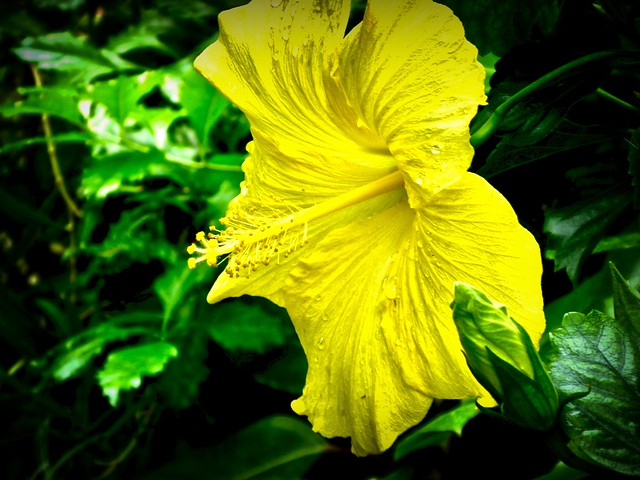 Yellow Hibiscus!