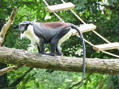 Cerza Zoo - roloway monkey. (3) - Photo of Beuvillers