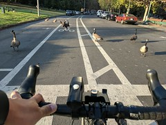 2017 Bike 180: Day 070 Rude Geese Encroaching on the Bike Lane