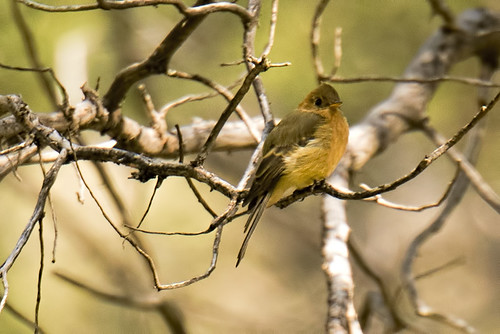 Carr Canyon: Tufted Flycatcher!